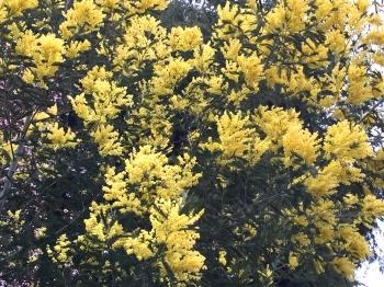 Graviers mimosa.jpg